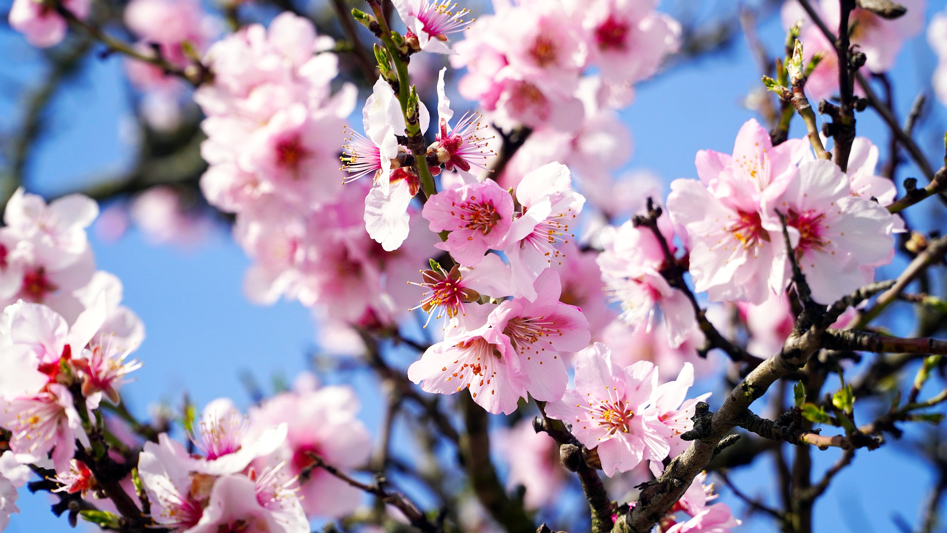 almond-tree-4933573_1920